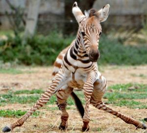Zebra Foal 'Melako' At Werribee Zoo, Melbourne, Australia - 21 Nov 2012